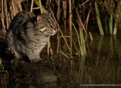 fishing-cat-whf-2357-copyright-photographers-on-safari-com