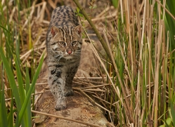 fishing-cat-whf-2358-copyright-photographers-on-safari-com