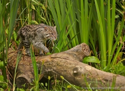 fishing-cat-whf-2359-copyright-photographers-on-safari-com