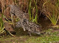 fishing-cat-whf-2362-copyright-photographers-on-safari-com