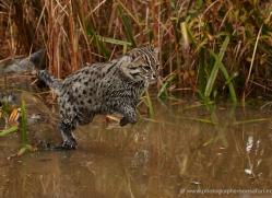 fishing-cat-whf-2363-copyright-photographers-on-safari-com