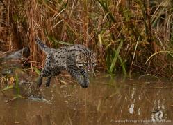 fishing-cat-whf-2364-copyright-photographers-on-safari-com