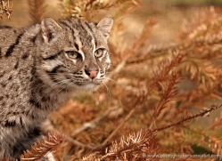 fishing-cat-whf-2365-copyright-photographers-on-safari-com