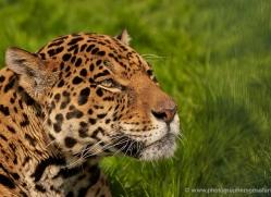 jaguar-whf-2387-copyright-photographers-on-safari-com