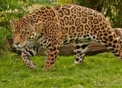jaguar-whf-2389-copyright-photographers-on-safari-com