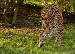 jaguar-whf-2391-copyright-photographers-on-safari-com