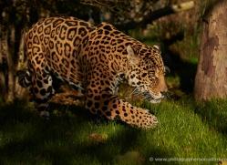 jaguar-whf-2394-copyright-photographers-on-safari-com