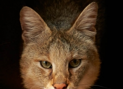 jungle-cat-whf-2375-copyright-photographers-on-safari-com