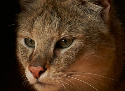 jungle-cat-whf-2376-copyright-photographers-on-safari-com