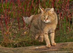 jungle-cat-whf-2378-copyright-photographers-on-safari-com