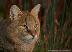 jungle-cat-whf-2379-copyright-photographers-on-safari-com