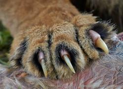 lion-whf-2444-copyright-photographers-on-safari-com