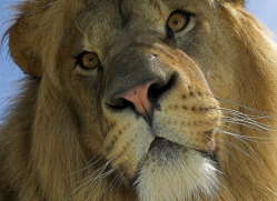 lion-whf-2449-copyright-photographers-on-safari-com