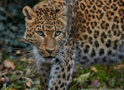north-chinese-leopard-whf-2338-copyright-photographers-on-safari-com