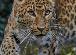 north-chinese-leopard-whf-2339-copyright-photographers-on-safari-com
