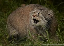 pallas-cat-whf-2399-copyright-photographers-on-safari-com