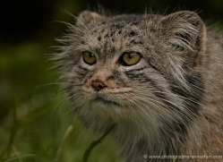 pallas-cat-whf-2400-copyright-photographers-on-safari-com