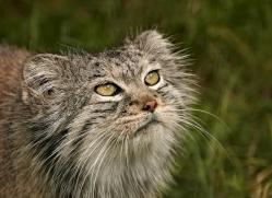 pallas-cat-whf-2401-copyright-photographers-on-safari-com