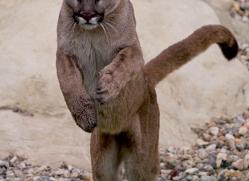 puma-mountain-lion-whf-2369-copyright-photographers-on-safari-com