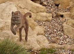 puma-mountain-lion-whf-2371-copyright-photographers-on-safari-com
