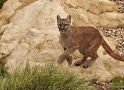 puma-mountain-lion-whf-2372-copyright-photographers-on-safari-com