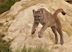 puma-mountain-lion-whf-2373-copyright-photographers-on-safari-com