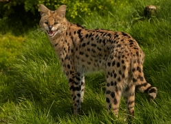 serval-whf-2396-copyright-photographers-on-safari-com