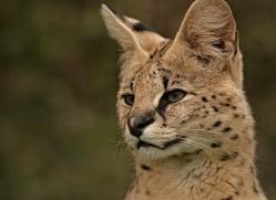 serval-whf-2397-copyright-photographers-on-safari-com