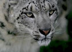 snow-leopard-whf-2349-copyright-photographers-on-safari-com