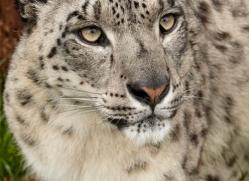 snow-leopard-whf-2350-copyright-photographers-on-safari-com