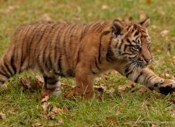 sumatran-tiger-cub-whf-2456-copyright-photographers-on-safari-com