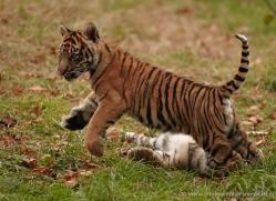 sumatran-tiger-cub-whf-2458-copyright-photographers-on-safari-com