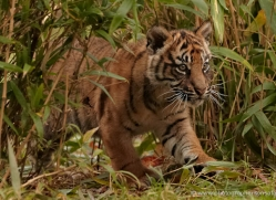 sumatran-tiger-cub-whf-2459-copyright-photographers-on-safari-com