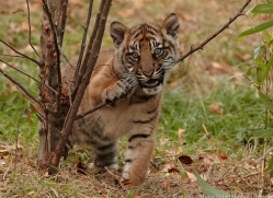 sumatran-tiger-cub-whf-2460-copyright-photographers-on-safari-com