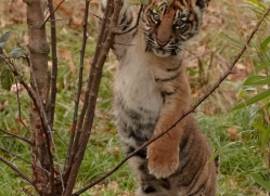sumatran-tiger-cub-whf-2461-copyright-photographers-on-safari-com