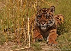 sumatran-tiger-cub-whf-2463-copyright-photographers-on-safari-com