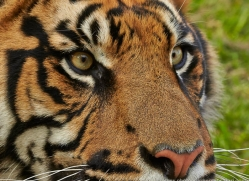 sumatran-tiger-whf-2466-copyright-photographers-on-safari-com