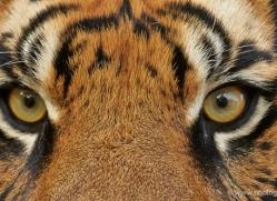 sumatran-tiger-whf-2467-copyright-photographers-on-safari-com