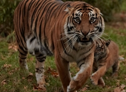 sumatran-tiger-whf-2468-copyright-photographers-on-safari-com
