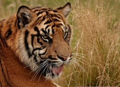 sumatran-tiger-whf-2470-copyright-photographers-on-safari-com