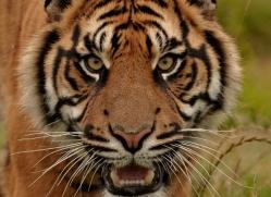 sumatran-tiger-whf-2472-copyright-photographers-on-safari-com