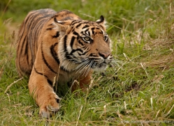 sumatran-tiger-whf-2473-copyright-photographers-on-safari-com