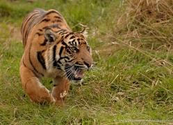 sumatran-tiger-whf-2475-copyright-photographers-on-safari-com
