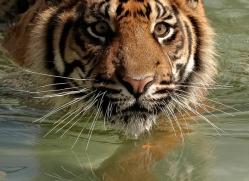 sumatran-tiger-whf-2476-copyright-photographers-on-safari-com