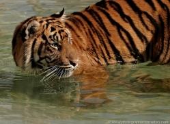 sumatran-tiger-whf-2477-copyright-photographers-on-safari-com