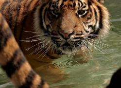 sumatran-tiger-whf-2478-copyright-photographers-on-safari-com