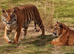 sumatran-tiger-whf-2480-copyright-photographers-on-safari-com
