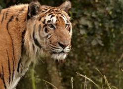 sumatran-tiger-whf-2483-copyright-photographers-on-safari-com