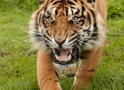 sumatran-tiger-whf-2485-copyright-photographers-on-safari-com