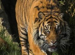 sumatran-tiger-whf-2487-copyright-photographers-on-safari-com